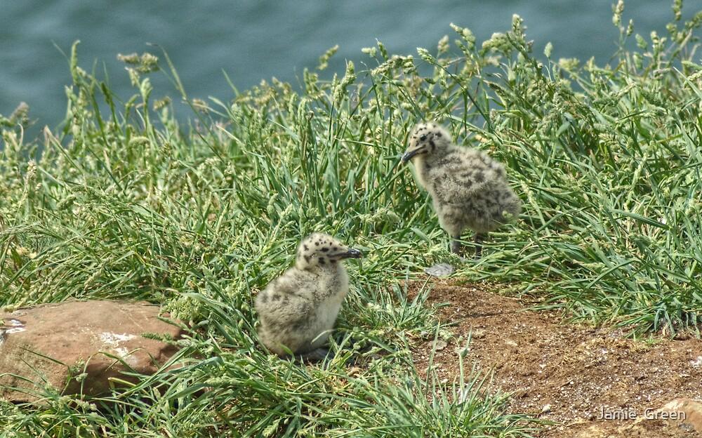 Herring Gull Chicks by Jamie  Green