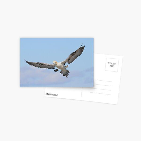 Gannet  Postcard