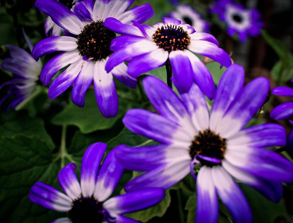 Feild of Purple by Cheryl Oney