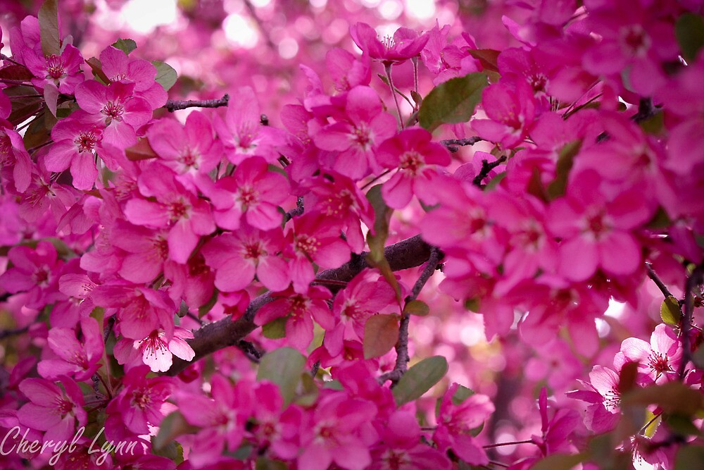 Spring time pink blossoms by Cheryl Oney
