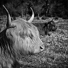 Highland Cattle by Patricia Jacobs DPAGB BPE4