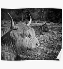 Highland Cattle Poster