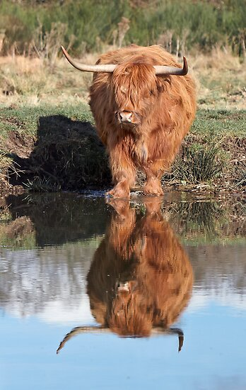 Highland Cattle Reflection by Patricia Jacobs DPAGB LRPS BPE4