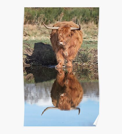 Highland Cattle Reflection Poster