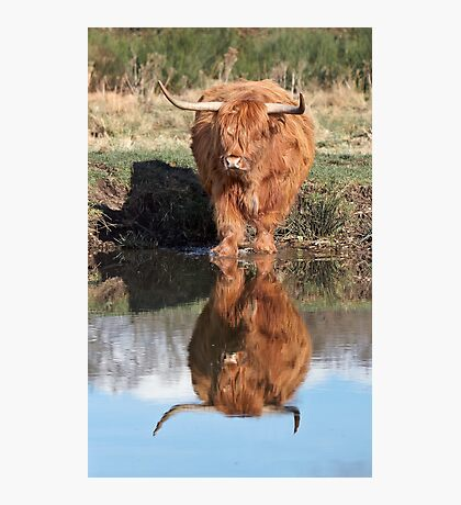 Highland Cattle Reflection Photographic Print