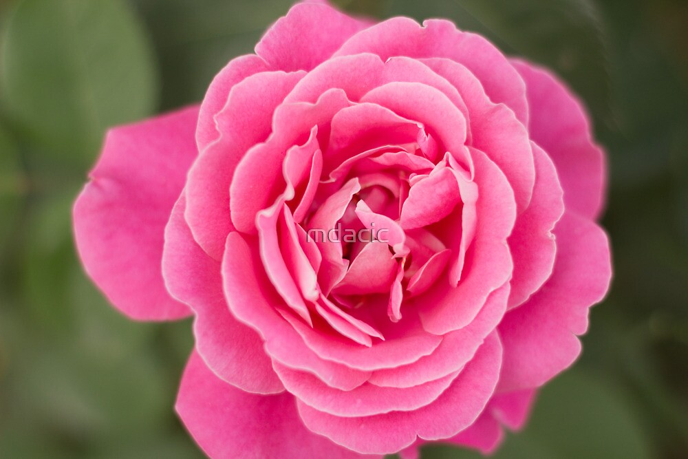Pinkish flower viewed from top by mdacic