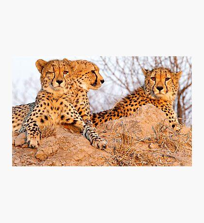 Do Cheetah Wink? Photographic Print