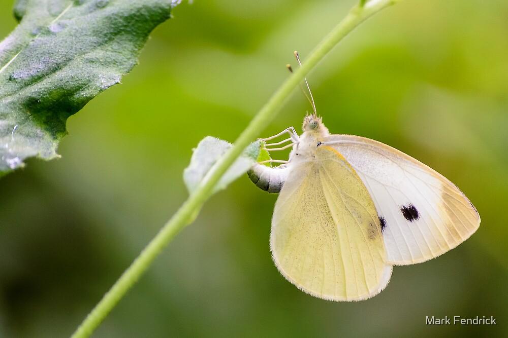 Butterfly 8 by Mark Fendrick