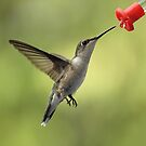 Female Ruby Throated Hummingbird by Gregg Williams
