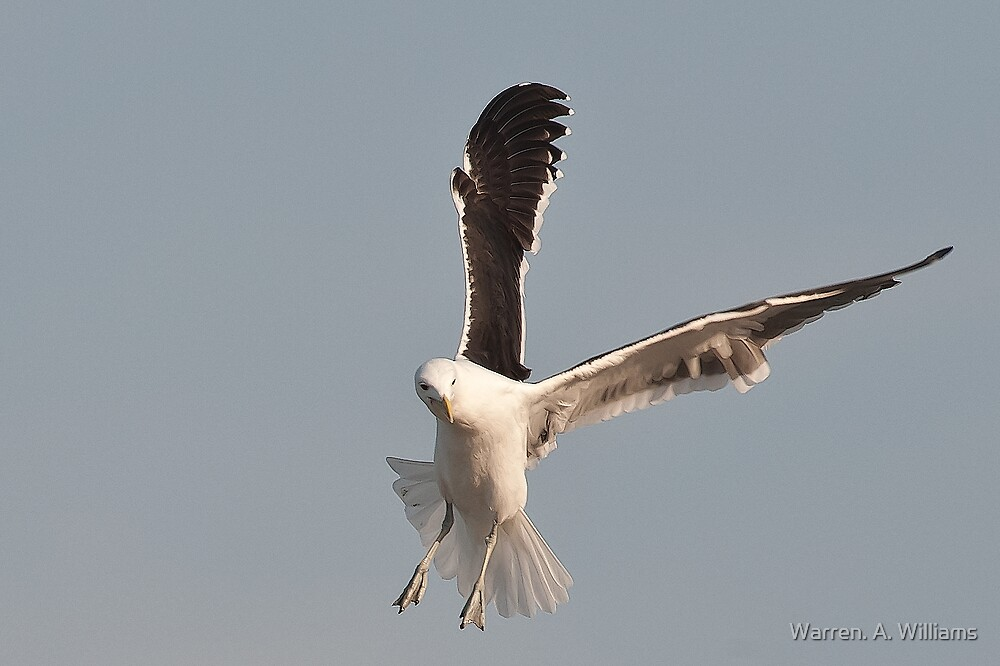 Gull Action by Warren. A. Williams