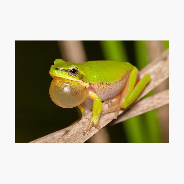 Calling Dwarf Tree Frog - Litoria fallax Photographic Print