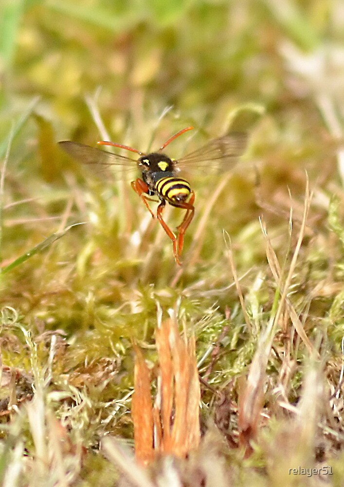 Polistes dominula European Paper Wasp , [Thanks Carla ] by relayer51