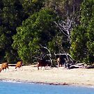 The magic of Arnhem Land - Bantengs on the beach by georgieboy98