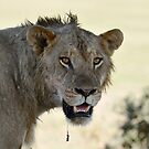 Young male lion - the drool says it all! by vawtjwphoto