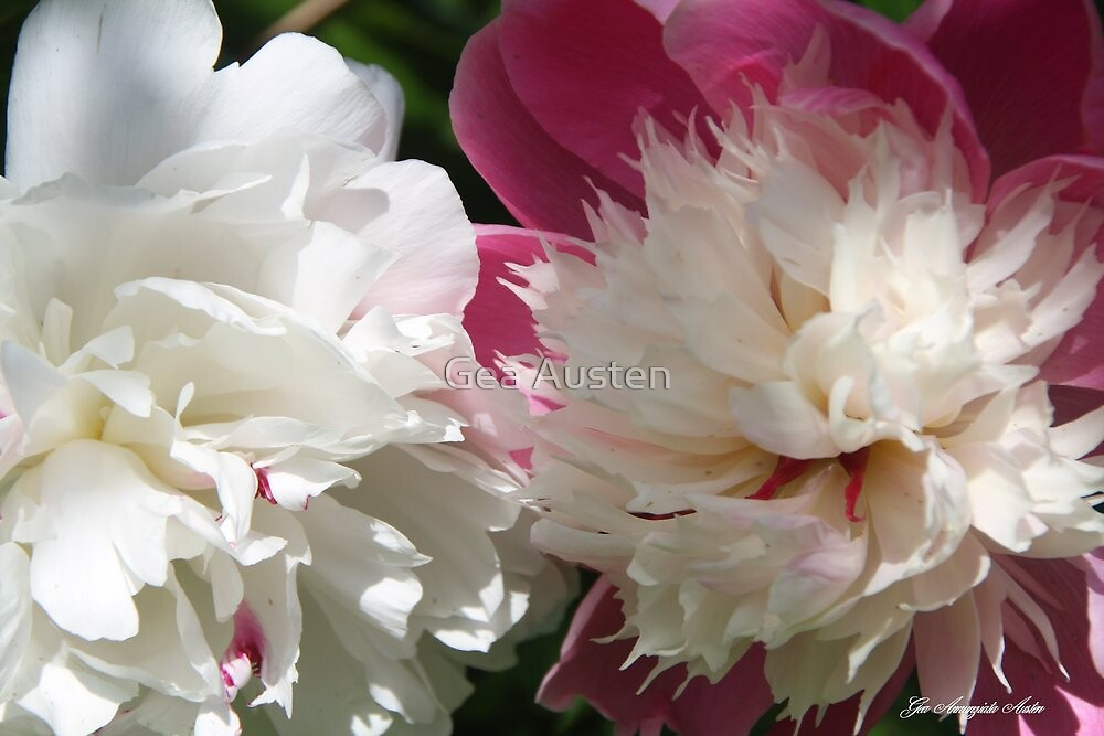 PEONY LACTIFOLIA AND BOWL OF BEAUTY 2 by Gea Austen
