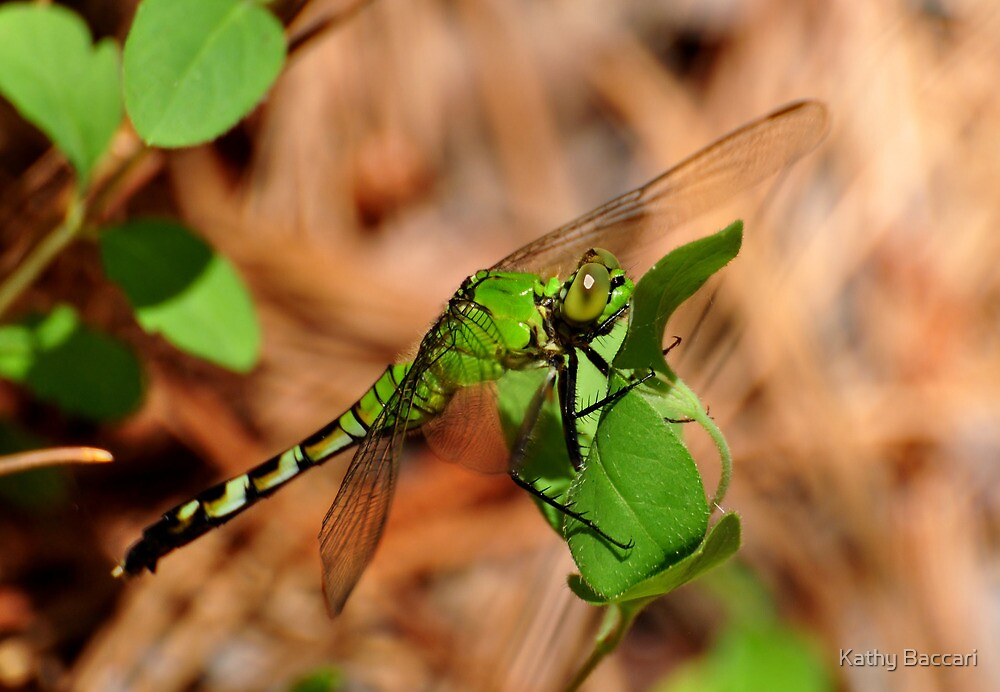 Green Clearwing Dragonfly by Kathy Baccari