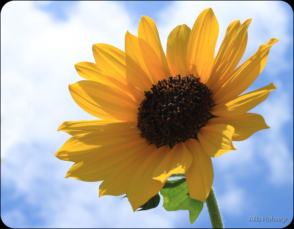 sunflower by Alila Hofmeyr