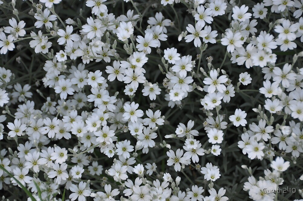 white flowers by Gareth240