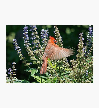Cardinal Hovering the Texas Lilac Photographic Print