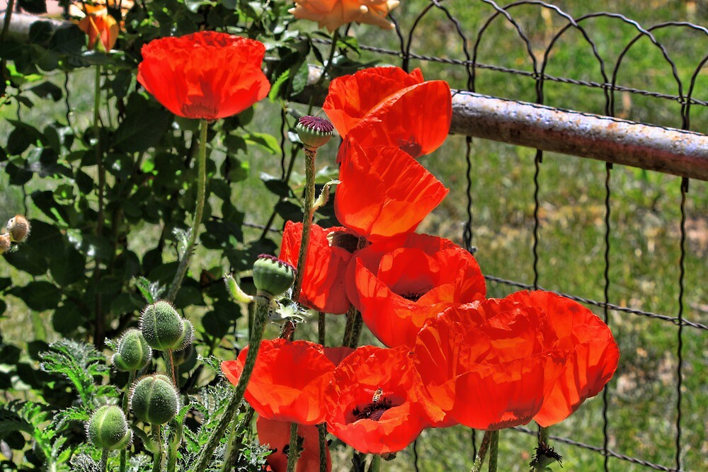 Poppies on the Fence by B.L. Thorvilson