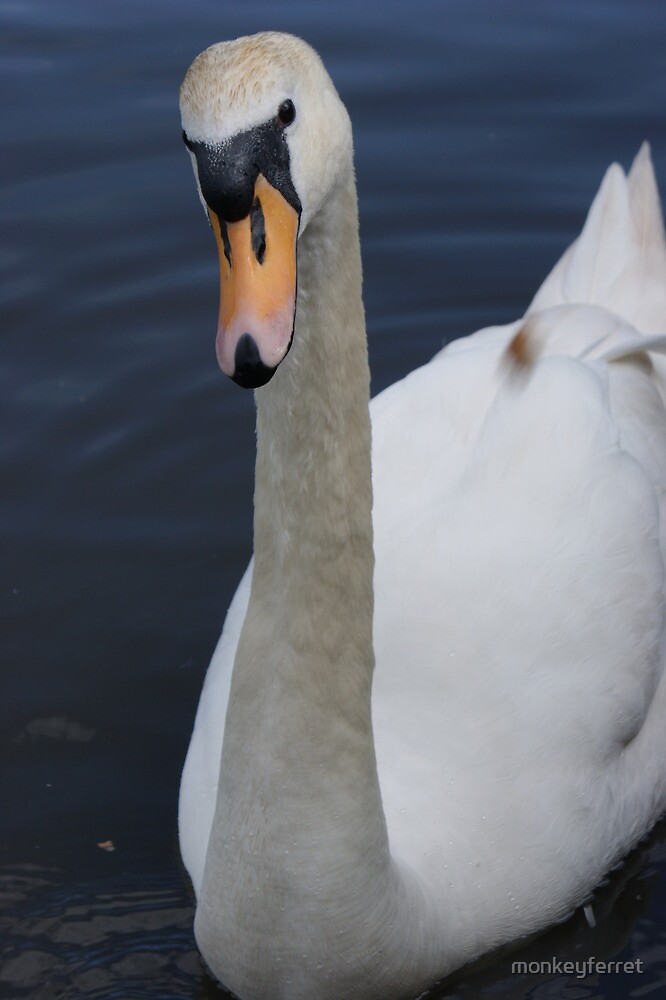 Male Swan - close-up (he's curious) by monkeyferret