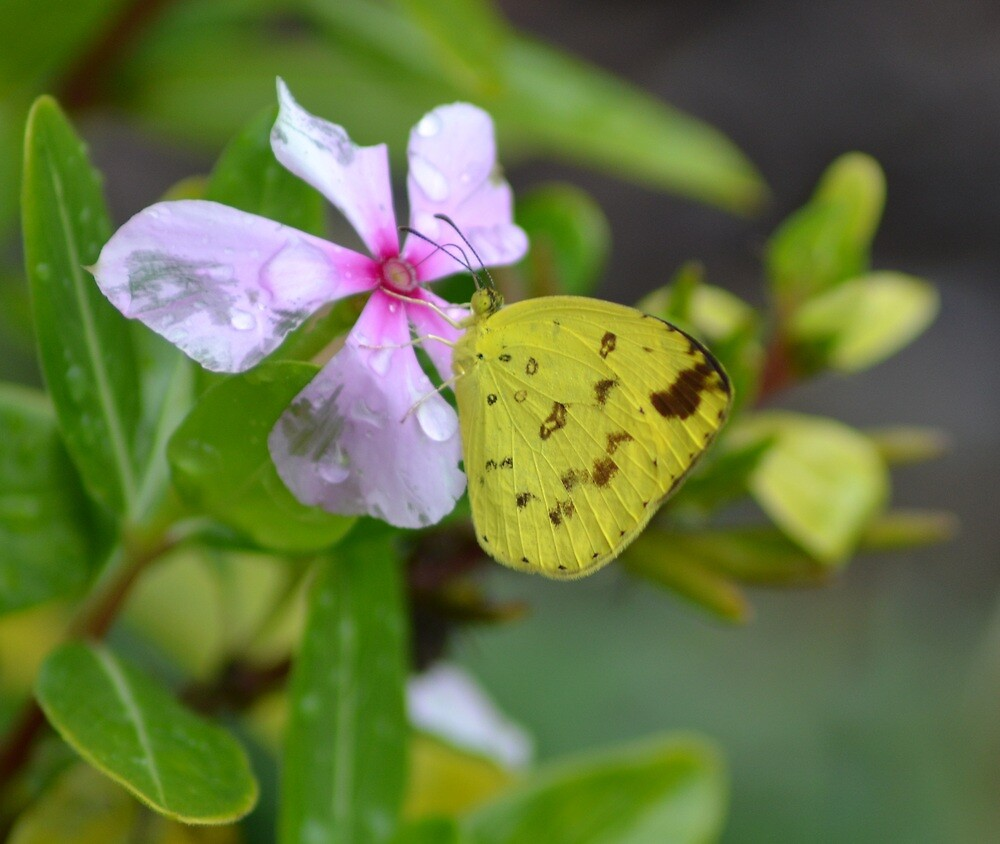 Common Grass Yellow Butterfly by TheaShutterbug