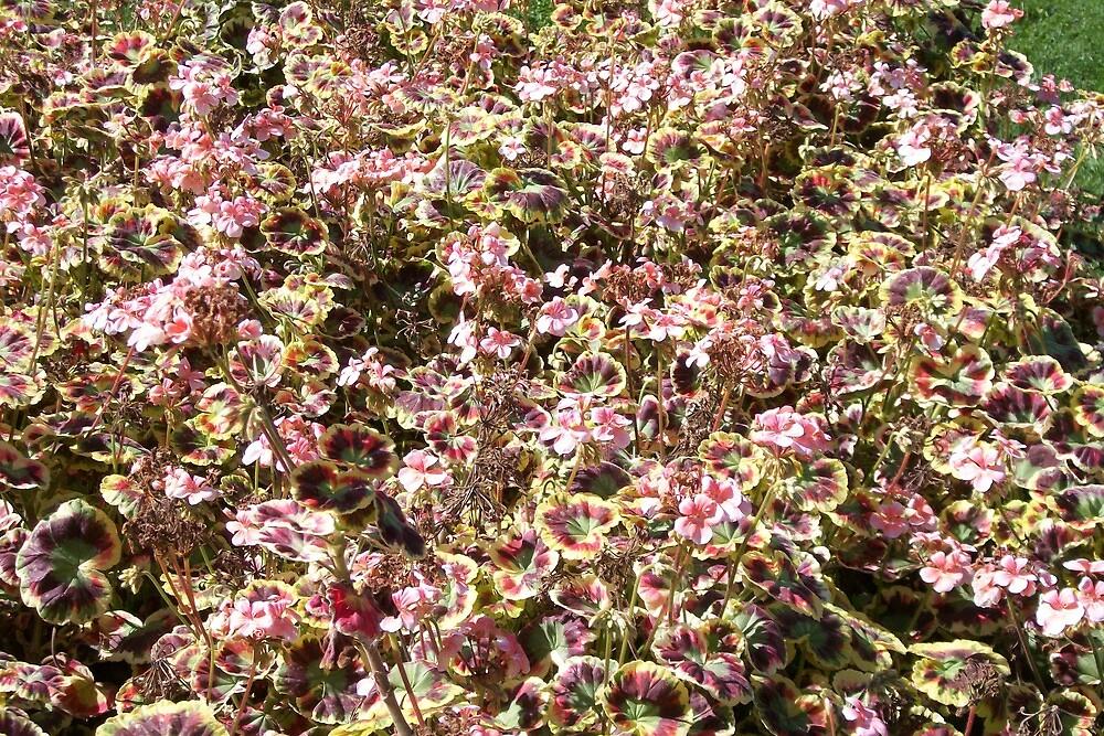 Profuse Italien Geraniums by Doreen Gilbert