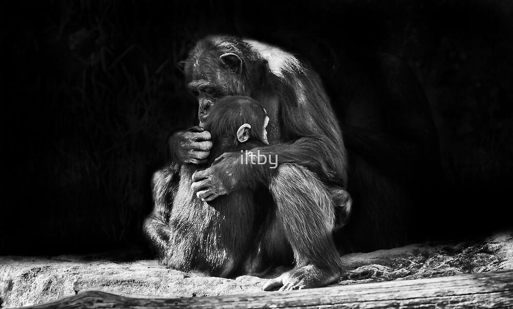 Chimpanzee Cuddles II by iltby