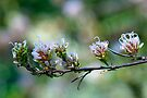 Grevillea endlichenriana by Renee Hubbard Fine Art Photography