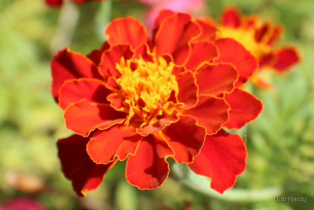 Marigold Majesty by Bob Hardy