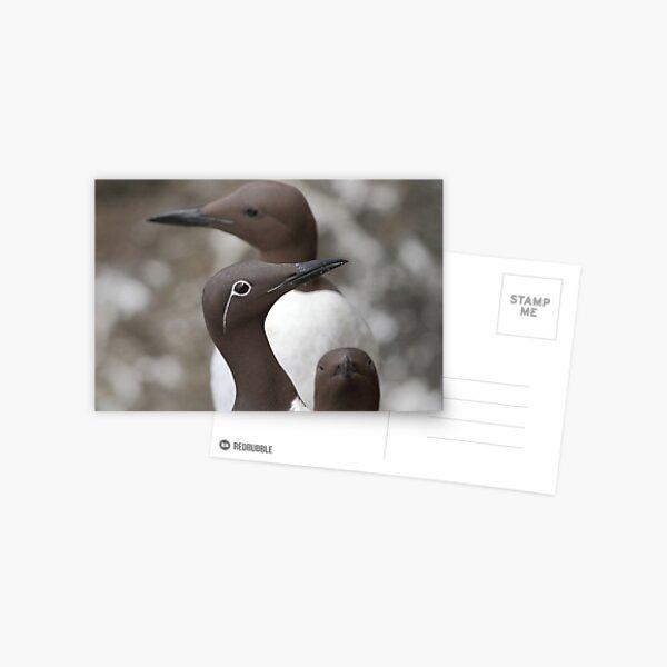 Guillemots Postcard