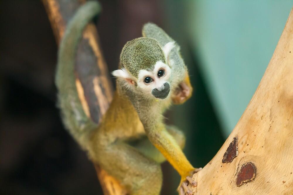 Squirrel Monkey by RedMann