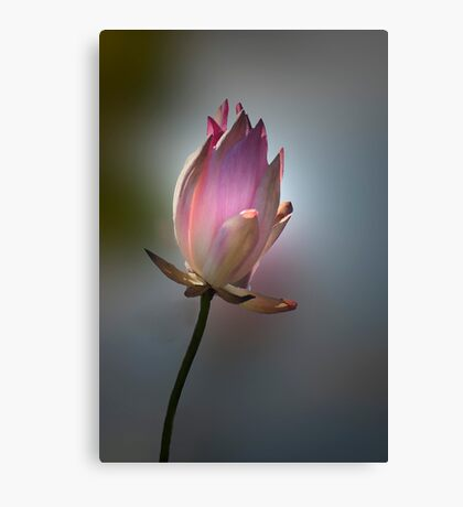 Let there be light - pink waterlilly Canvas Print