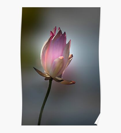Let there be light - pink waterlilly Poster