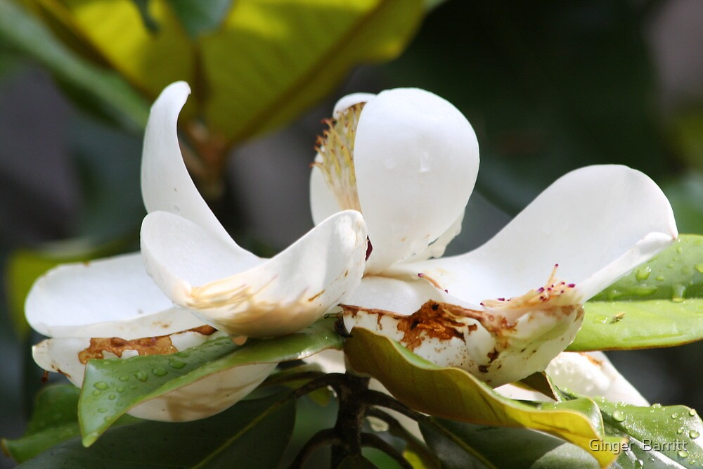 Southern Magnolia by Ginger  Barritt