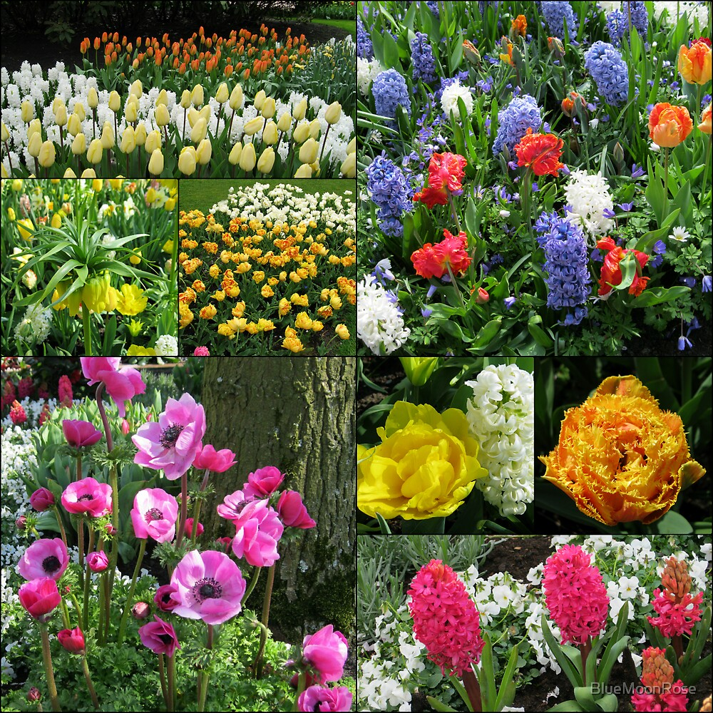 Keukenhof Collage featuring Anemones and Hyacinths von BlueMoonRose