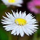 A Daisy  by Martina Fagan