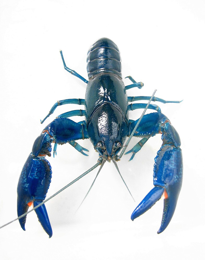 Australian Blue Yabby - Cherax destructor by Nikki Bond