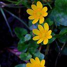 Lesser celandine (Ranunculus ficaria) Low Coniscliffe, England. by Ian Alex Blease