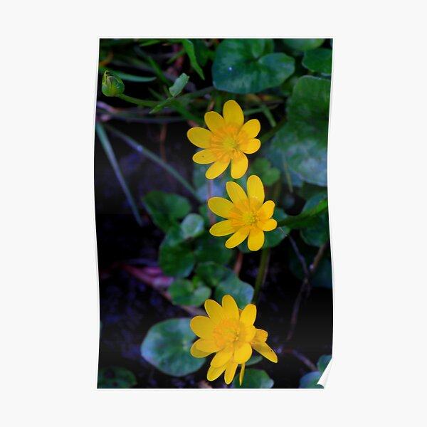 Lesser celandine (Ranunculus ficaria) Low Coniscliffe, England. Poster