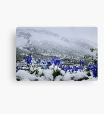 Snow Lupin Canvas Print