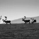 40 mile caribou herd - Yukon by Marty Samis