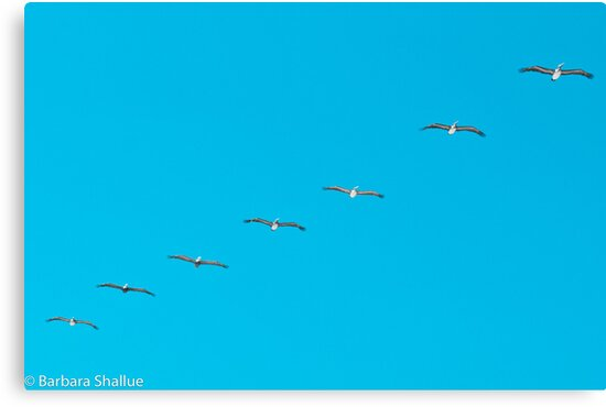 Parade of Pelicans by Barbara Shallue
