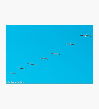 Parade of Pelicans Photographic Print
