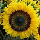 Sunflower by Degroom