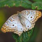 White Peacock by ZeeZeeshots