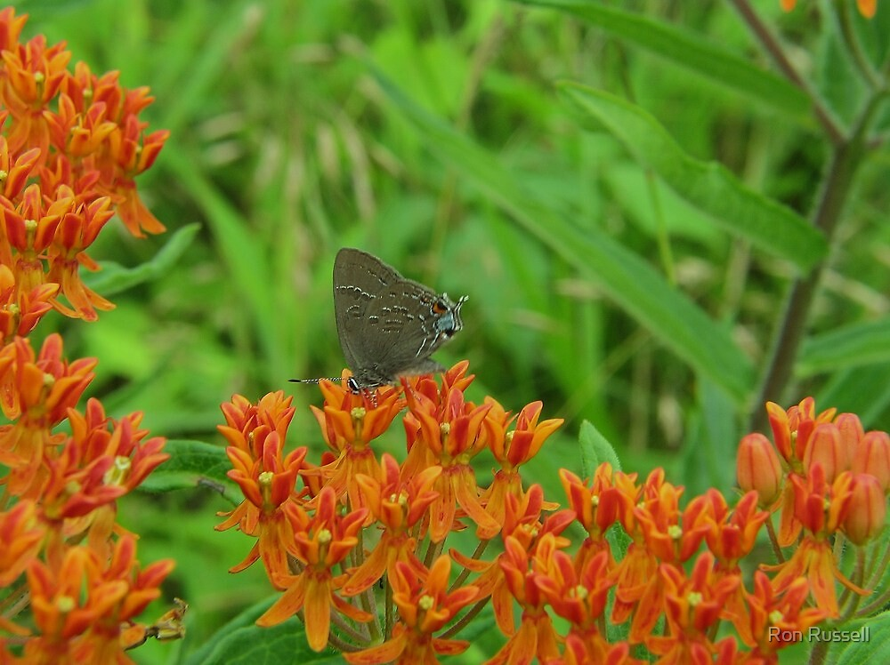 Grey Hairstreak Dining at The Butterflyweed Inn by Ron Russell