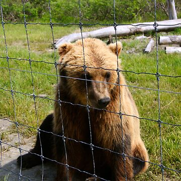 Rescued Grizzly Bear at the Anchorage Wildlife Refuge by Karlim