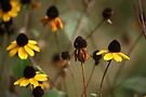 Thin-leaved Coneflower by Jean Martin
