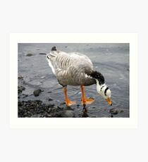 Bar Headed Goose - Esquimalt Lagoon Art Print